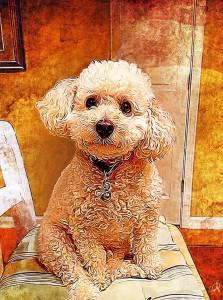 toy-poodle-cute-dog-adorable-pet-portrait-custom-portraits-dogs